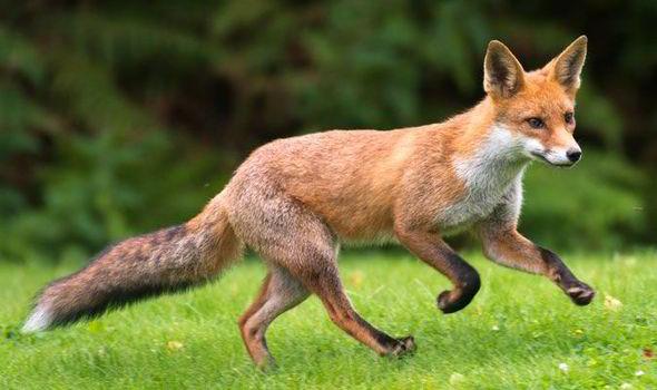 fox-hunting-436738