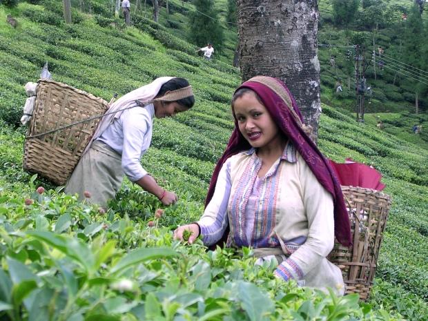 Darjeeling_Tea_Garden_worker
