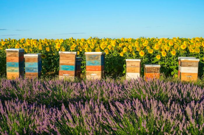 beehives-between-lavender-and-sunflower-fields-on-the-plateau-de-valensole-540858305-5a848ece875db9003675a9fa