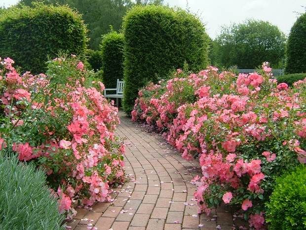 pathway of roses 2