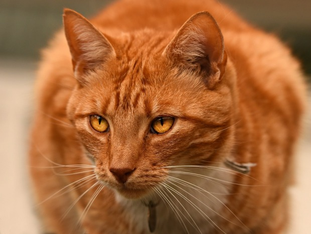 ginger-cat-3607364_960_720